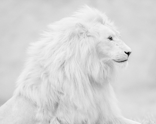 Lavovi / Lions pictures - Page 2 12131078