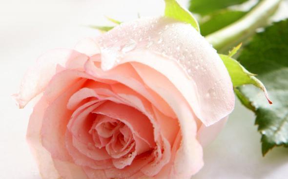 Ruže - Page 2 12701713