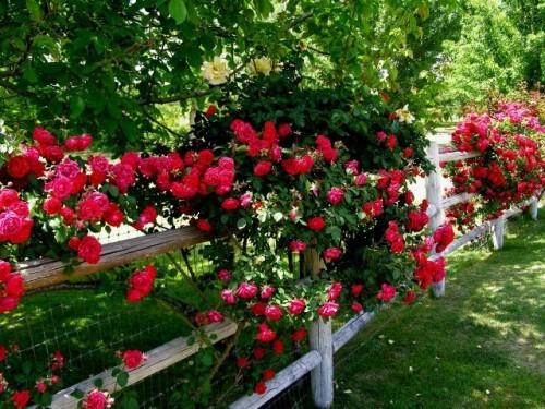 Cvijeće oko kuće  - Page 2 12829083