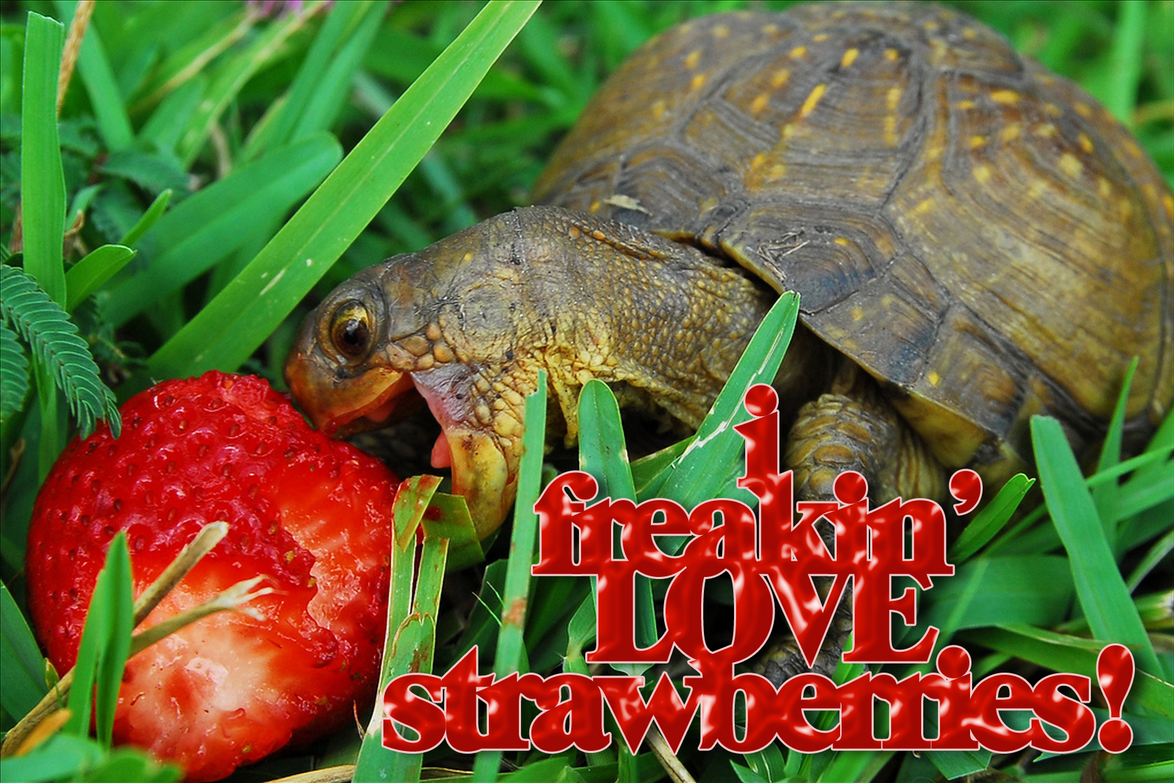 turtle-loves-strawberries.jpg